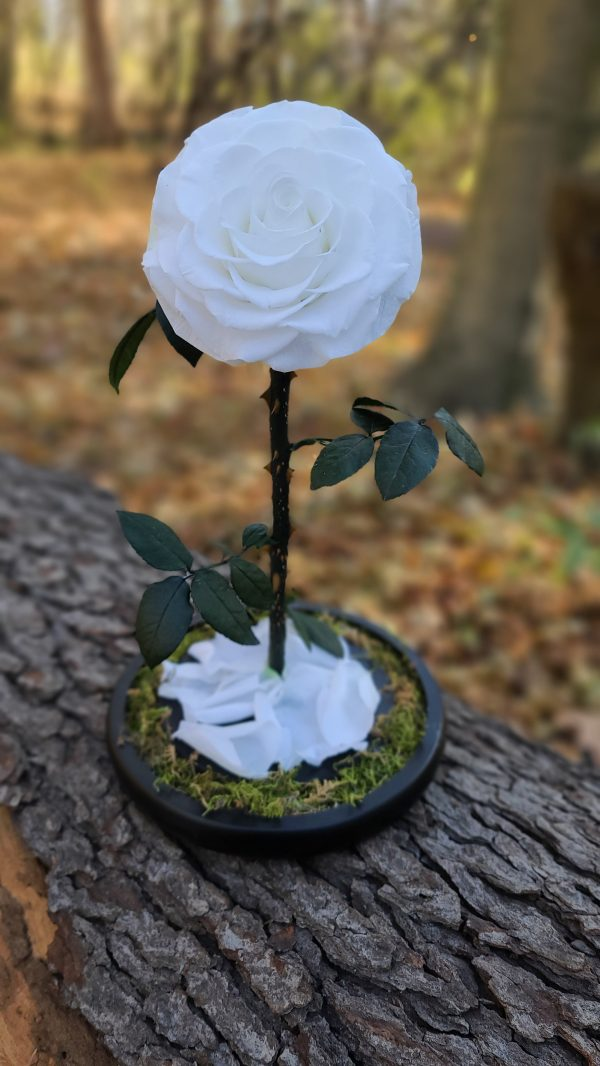 White Beauty and the Beast Rose