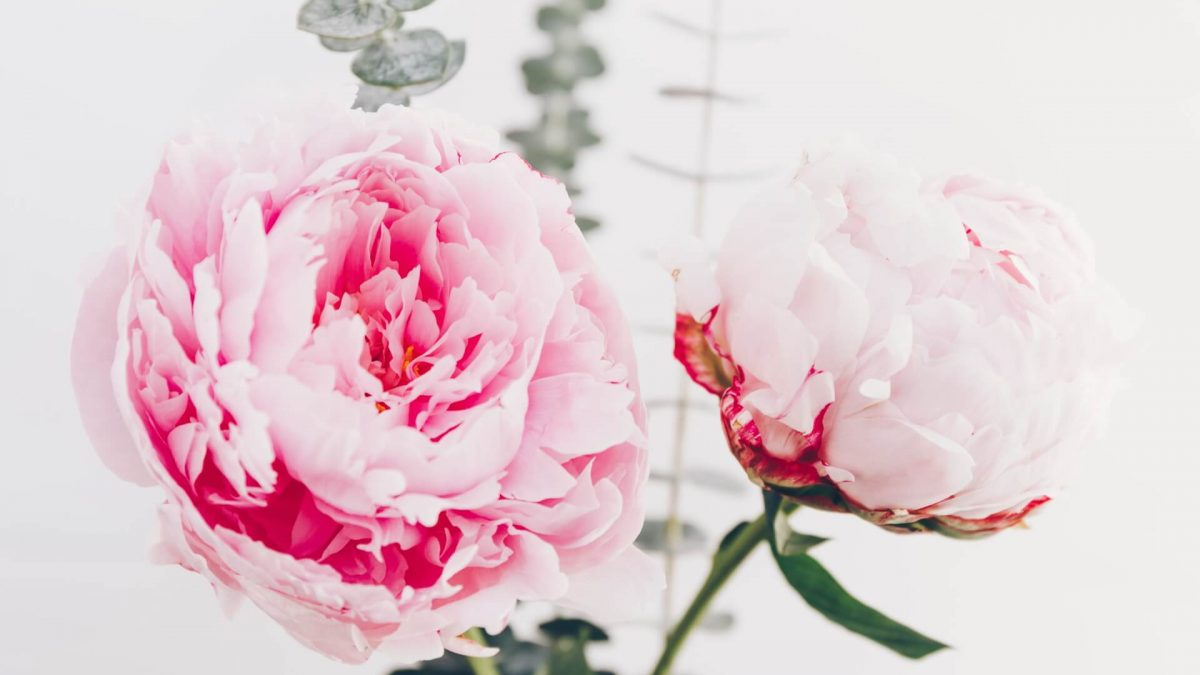 Beautiful bouquet from pink peonies