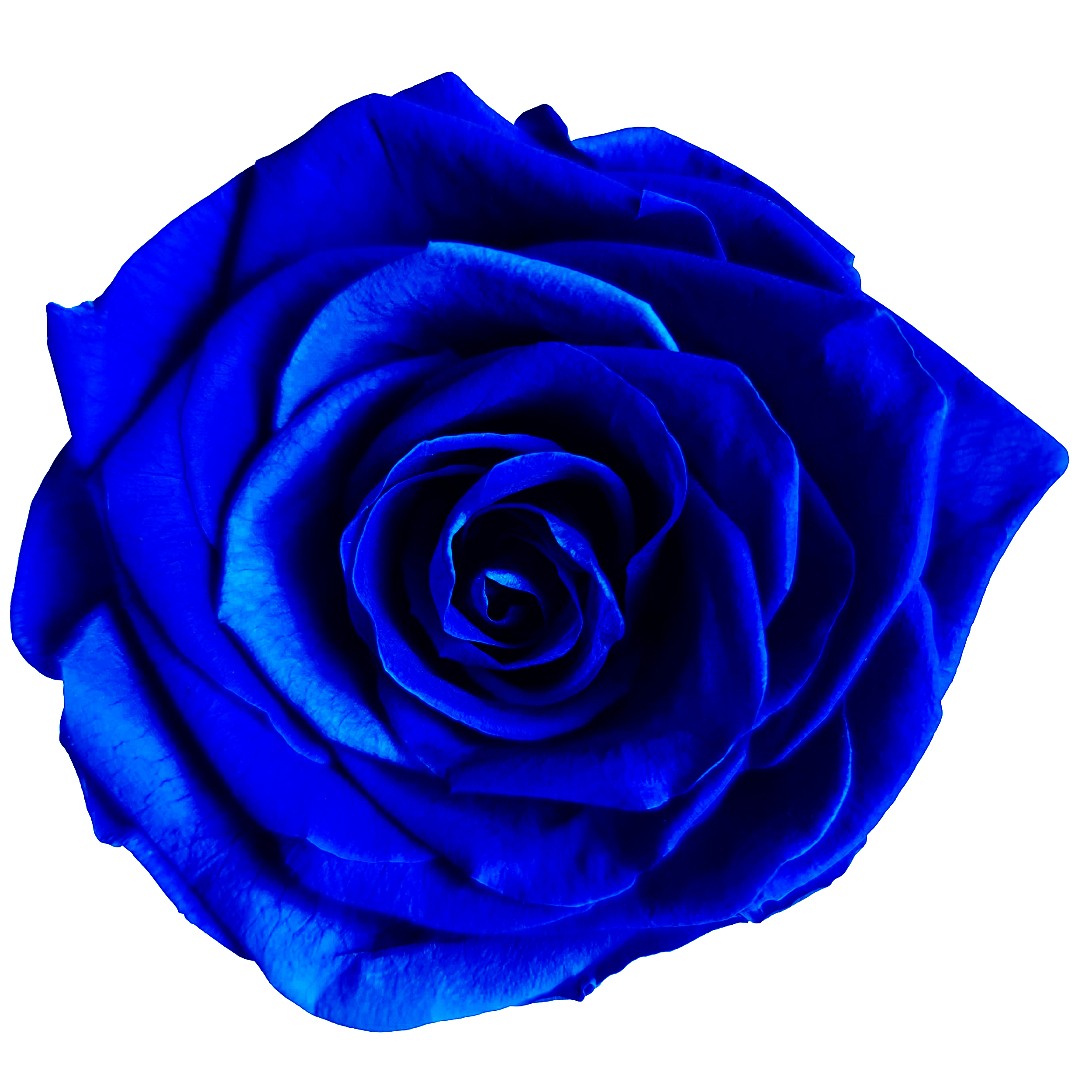 Royal Blue Rose